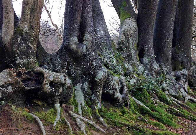 Hindhead Trees